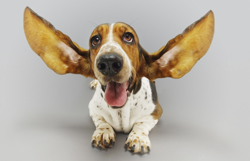 Cultivate-listening-dog-with-big-ears